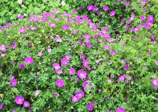 agrokavkaz-geranium-citeli-frei-bodendecker-storchschnabel