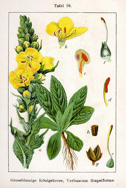 ქერიფქლა, სამკურნალო, მცენარე