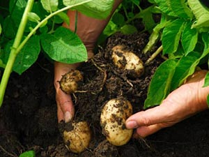 Potatoes_kartmm_10284781555
