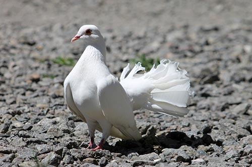 მტრედი, ფრინველი