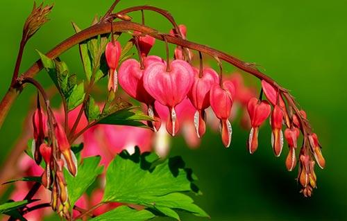 დიცენტრა, ყვავილი