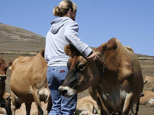 ძროხა, ფერმა, საძოვარი