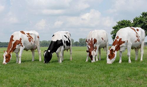 ძროხა