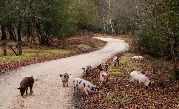 ღორი, ცხვარი, თხა