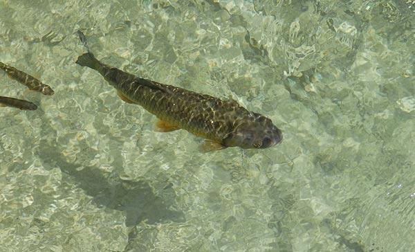 თევზი, საკვები, კობრი