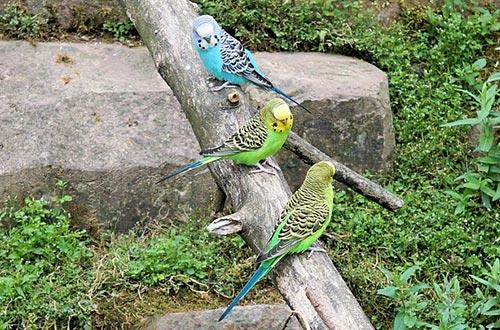 თუთიყუში
