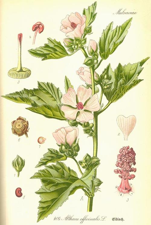 ტუხტი, სამკურნალო, მცენარე