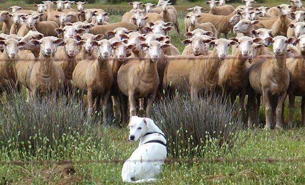 ცხვარი, რძე, მეცხვარეობა