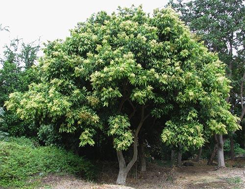 საპნის, ხე
