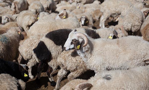 ქართული, ცხვარი, ექსპორტი