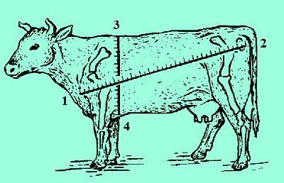 ანაზომი, ძროხა