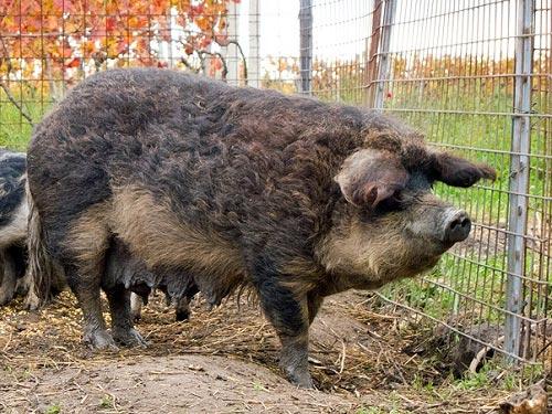 ღორი, ჯიში