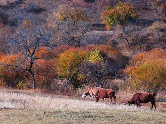 ენდემური, ჯიშები, ძროხა, ღორი, ცხვარი