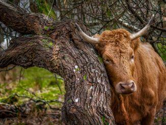 ძროხა, ფური, კვება