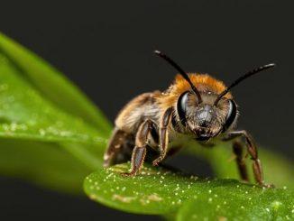 ფუტკრები, საინტერესო, ფუტკარი