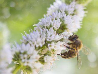 ფუტკრის, შხამი, აპიტოქსინი