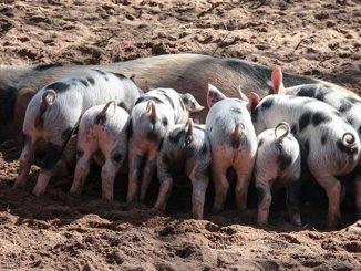 მეღორეობა, ღორი, გოჭები, მოგება