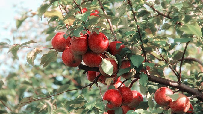 ვაშლი, დარგვა, ბაღი