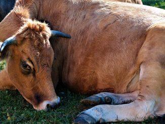 ძროხა, ტოქსემია, მკურნალობა