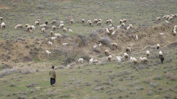 ცხვარი, მეცხვარე, მოვლა, ქართული