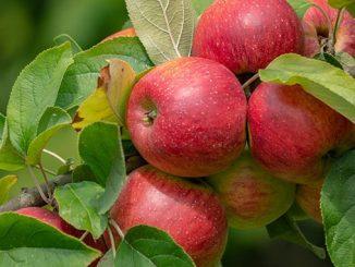 გასხვლა, სხვლა, ვაშლი