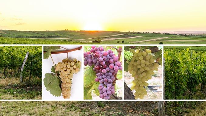 სუფრის, ყურძენი, ვენახი, ვაზი