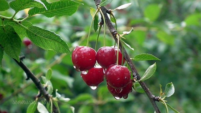 ალუბალი, ბაღი, ხილი