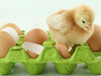 ინკუბატორი, საჩეკი, წიწილა, კვერცხი, ფრინველი