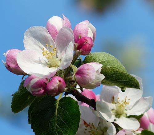 ვაშლი, მსხალი, ხეხილი, მავნებელი, კოკრიჭამია