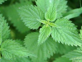 ჭინჭარი, მკურნალი, სამკურნალო, მცენარე
