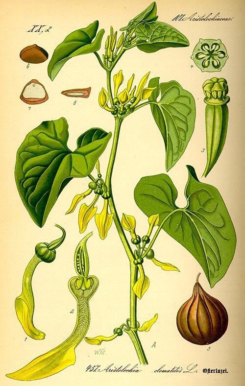 ძირმწარა, სამკურნალო, მცენარე