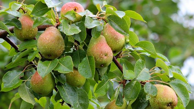 ხილი, მეხილეობა