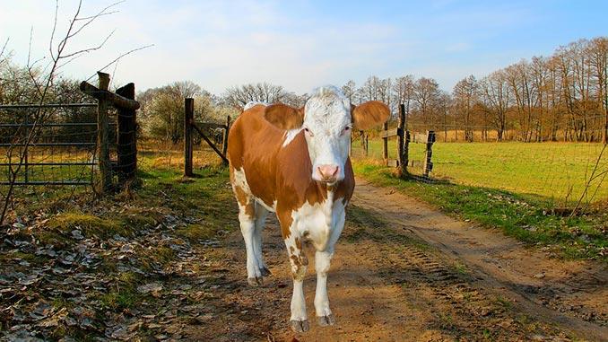 ძროხის, ჯიშები