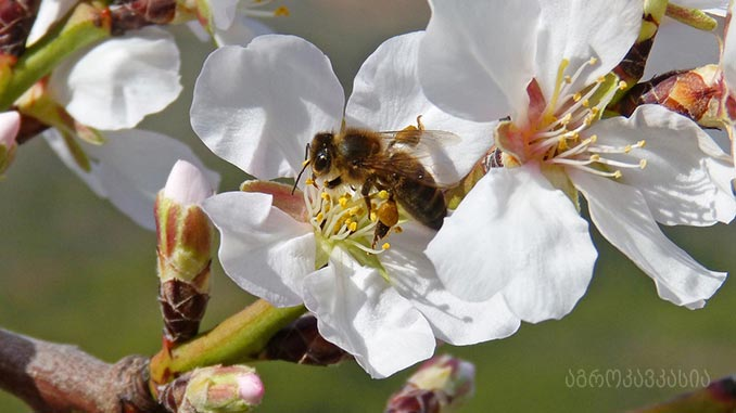 ფუტკარი, ქართული, მეგრული, გენეფონდი