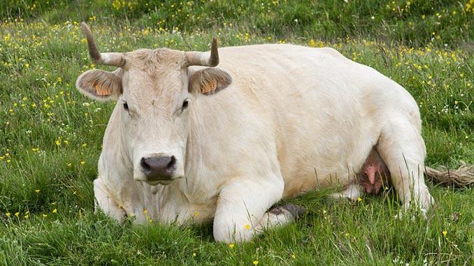 ფური, ძროხა, განწველვა