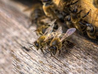 ფუტკარი, ბუნებრივი, გამრავლება