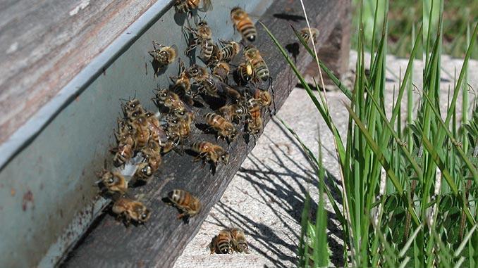 ფუტკრები, კვერცხდება