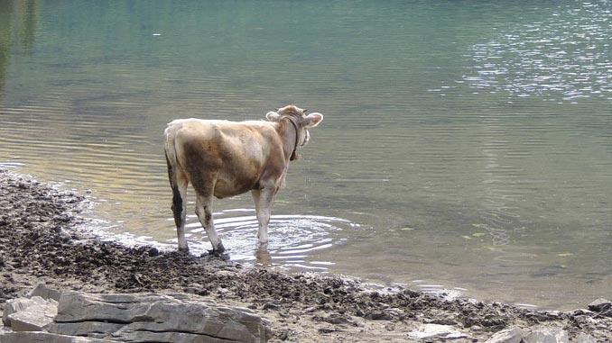 წყალი, ძროხა