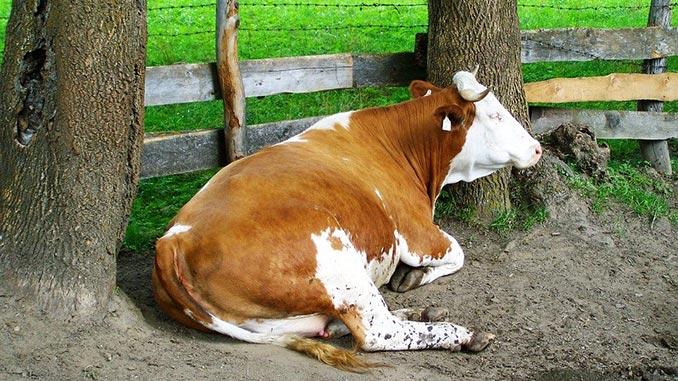 აციდოზი, ძროხა