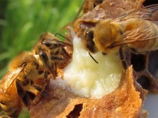 ფუტკრის, დედები, რძე