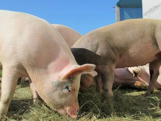 ღორი, მეღორე, ვირუსული