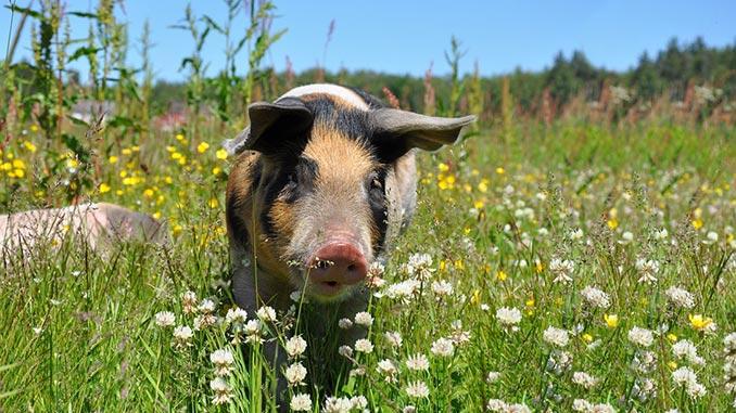 ღორი, გოჭი, ფერმა