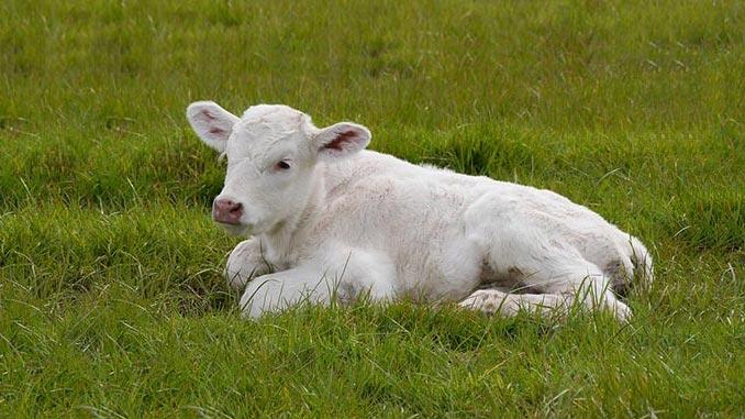 ძროხის, ხბო, გამოზრდა