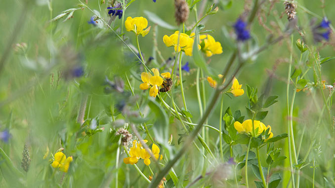 თაფლოვანი, მცენარეები, ფუტკარი, მეფუტკრეობა