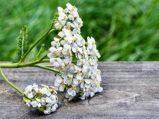ფარსმანდუკი, სამკურნალო, მცენარე