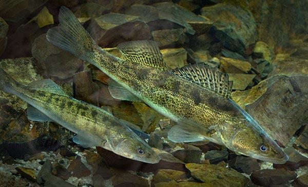 ფარგა, მოშენება, თევზი, ბუნება, აღდგენა