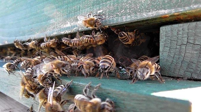 ფუტკრის, შხამი, მეფუტკრეობა