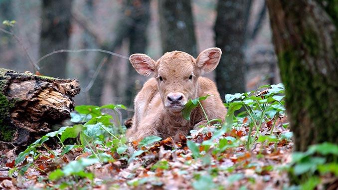 ხბო, ძროხა, საკვები, მეცხოველეობა