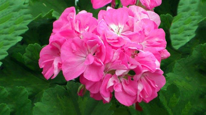 გერანი, ვარდისებრი, ყვავილები