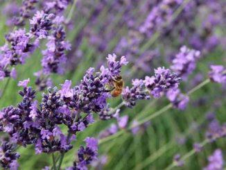 ფუტკრის, გზა, ბრიტანეთში